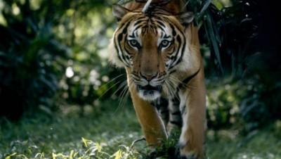 Tiger-1522069561.JPG