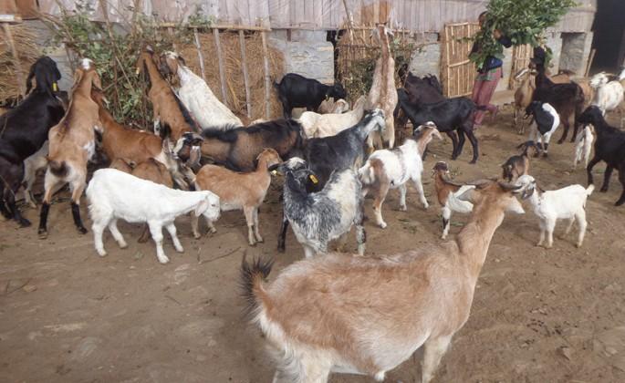 Goat-1525882858.jpg